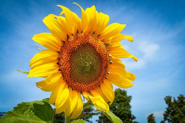 Gele de zonnebloembloesem van het zonnebloemgebied op het gebied van de de lentezomer