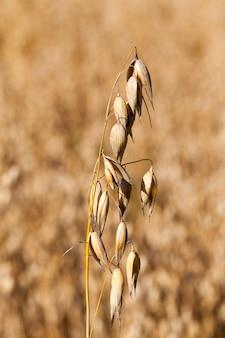 Gele droge stengels van haver tijdens rijping en bereidheid om te oogsten, close-up van landbouwoogst