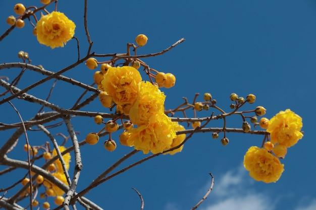 Gele dubbele bloemen op de takken van de mierenboom tabebuia aurea tegen de blauwe hemel.