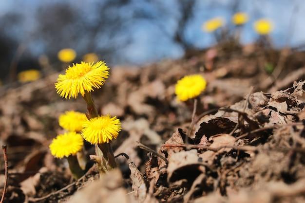 Gele eerste bloemen