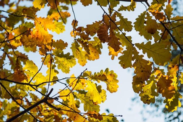 Gele eiken bladeren tegen onscherpe hemel op herfstdag