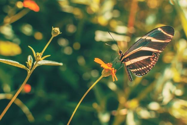 Gele en bruine vlinder neergestreken op rode bloem