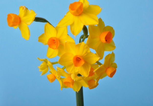 Gele en oranje narcissen op blauwe achtergrond