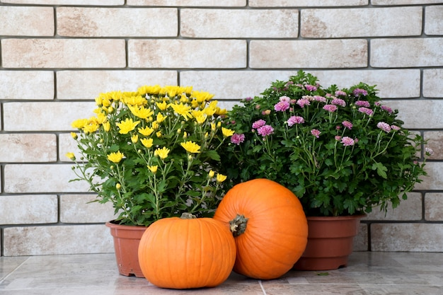 Gele en paarse chrysanten in potten met oranje pompoenen op muur van oude bakstenen achtergrond. herfst oogst, thanksgiving day concept.