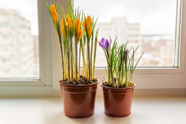 Gele en paarse krokussen in plastic pot op de vensterbank. lentebloemen, tuinieren