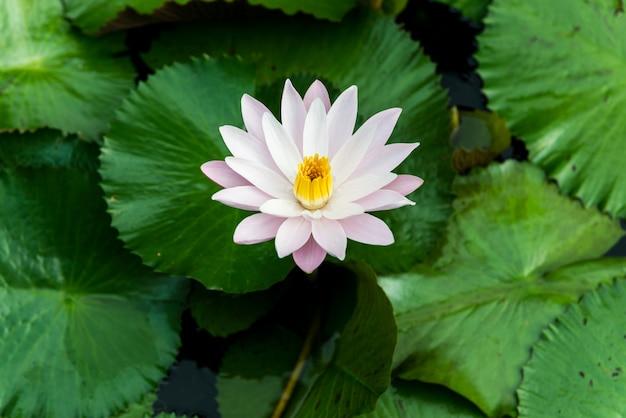 Gele en roze lotusknoppen en bloeien prachtig