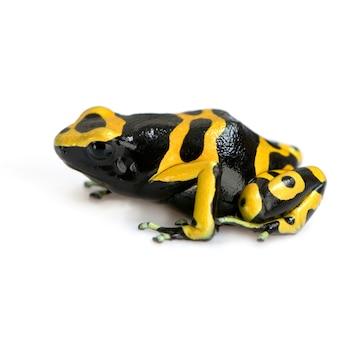 Gele en zwarte pijlgifkikkers geïsoleerd