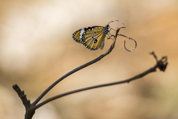 Gele en zwarte vlinder op bruine steel