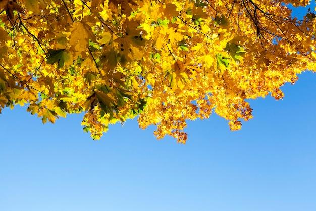 Gele esdoornbladeren gelegen aan een boom in de herfstseizoen.