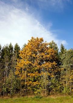 Gele esdoornbladeren, groeiend, omgeven door dennen en berkenbomen in een klein bos. herfst