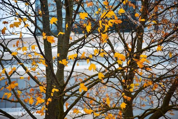Gele esdoornbladeren hangen aan een boom
