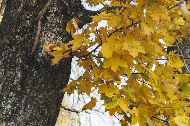 Gele esdoornbladeren met groene grasachtergrond, gouden herfsttijd, herfst