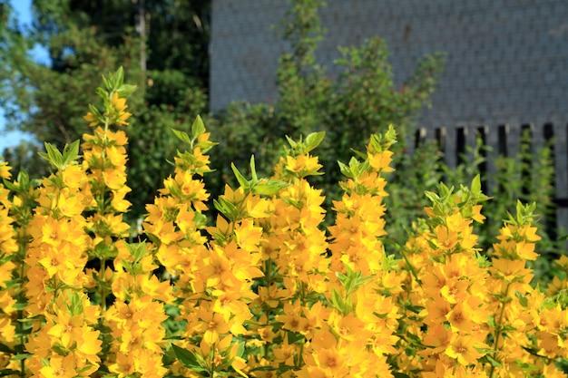 Gele flowerses in landelijke tuin