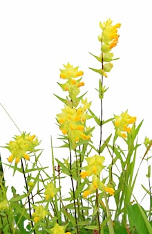 Gele flowerses op witte achtergrond