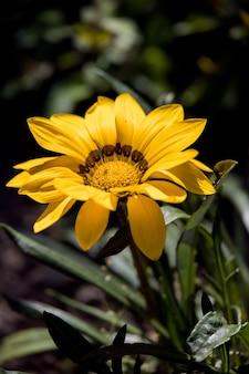 Gele gazania bloeiend in een engelse tuin