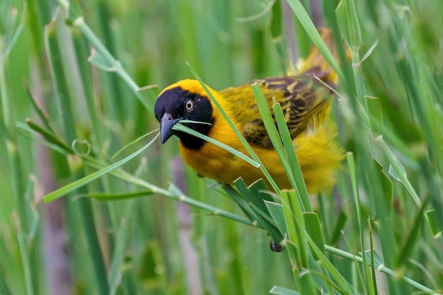 Gele gemaskerde wever die gras voor zijn nest maait