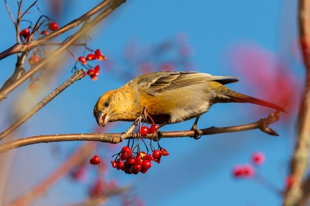 Gele gemeenschappelijke crossbill-vogel die rode lijsterbessen eet die op een boom met een vage achtergrond wordt neergestreken