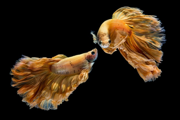 Gele gouden bettavissen, siamese het vechten vissen op zwarte achtergrond