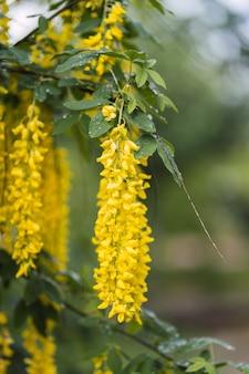 Gele gouden douche, cassia fistula bloem groene bladeren takken