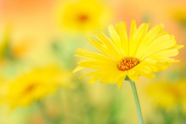 Gele goudsbloembloem