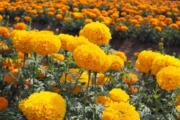 Gele goudsbloembloemen met groene bladeren in de weide in bloementuin voor achtergrond