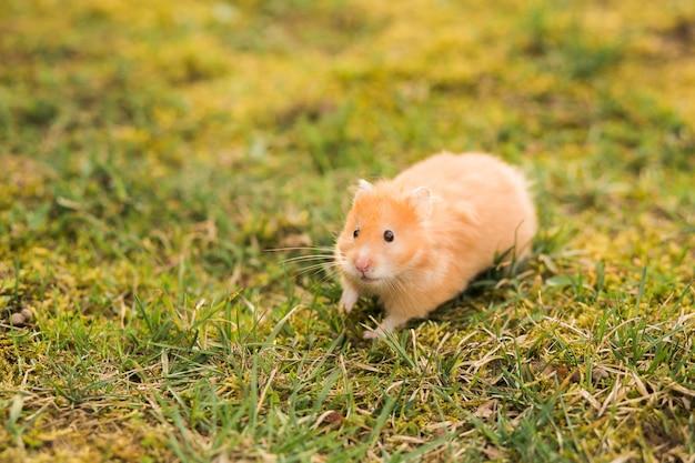 Gele hamster op zoek