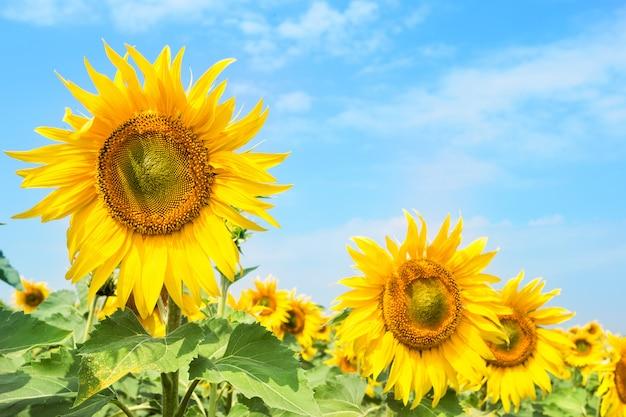 Gele heldere zonnebloem tegen de blauwe hemel