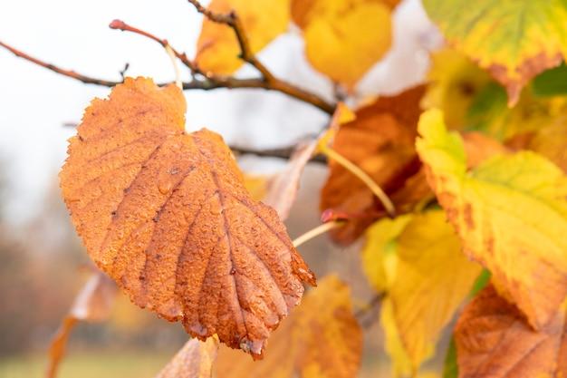 Gele herfstbladeren aan de boom.