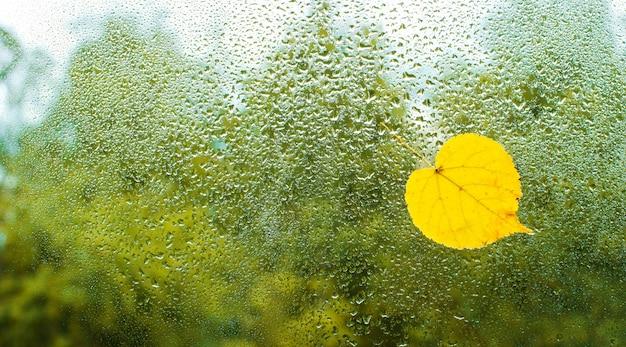 Gele herfstbladeren geplakt aan het natte venster.