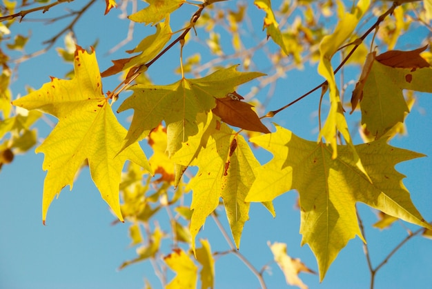 Gele herfstbladeren.