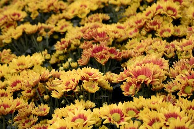 Gele herfstbloem in de tuin. chrysanthemum bloem. en ochtendlicht is een mooie bloem