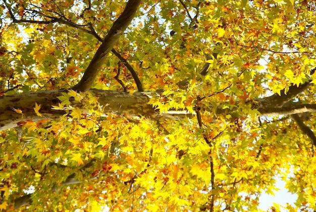 Gele herfstboom.
