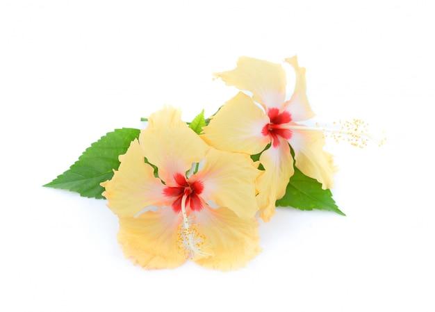 Gele hibiscusbloem die op witte achtergrond wordt geïsoleerd