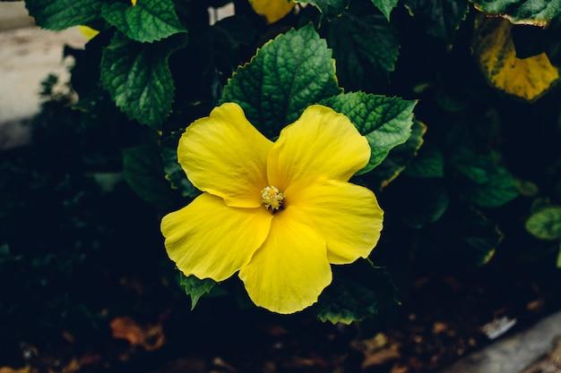 Gele hibiscusbloem