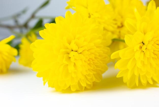 Gele hrizantema-bloem op roze achtergrond. natuurlijk ecoproduct, natuurconcept. bloemen aanwezig. valentijnsdag.