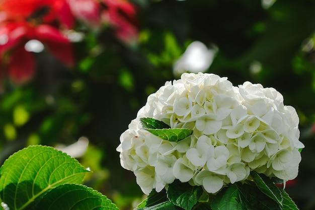 Gele hydrangea bloeien in de natuur.