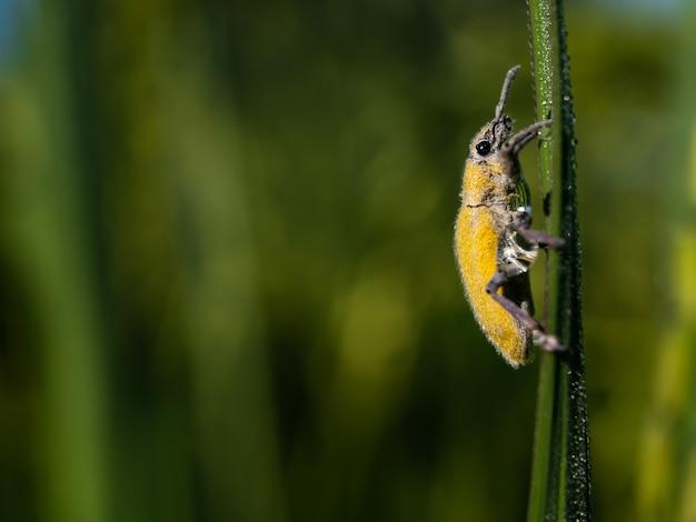 Gele insecten in de rijstvelden
