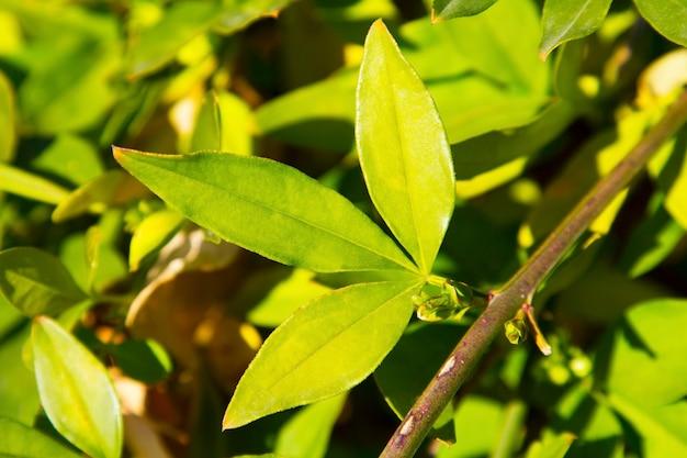 Gele jasmijnbladeren op een tak in de tuin, groene natuurlijke achtergrond, heldergroene jonge bladeren, vroege lente op een zonnige dag