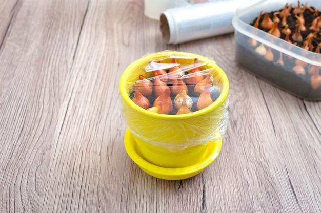 Gele keramische pot met geplante uien onder een doorzichtige plastic folie. biologische groenteplant