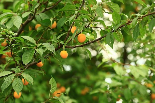 Gele kersenpruim op de boom. zachte selectieve focus