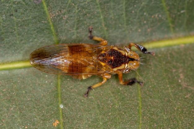 Gele kleine typische leafhopper van het geslacht teletusa dier dat een bij nabootst