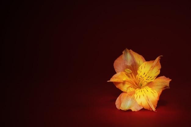 Gele knop van alstroemeriabloem op een rood-bordeauxrode achtergrond. selectieve aandacht. ansichtkaart.