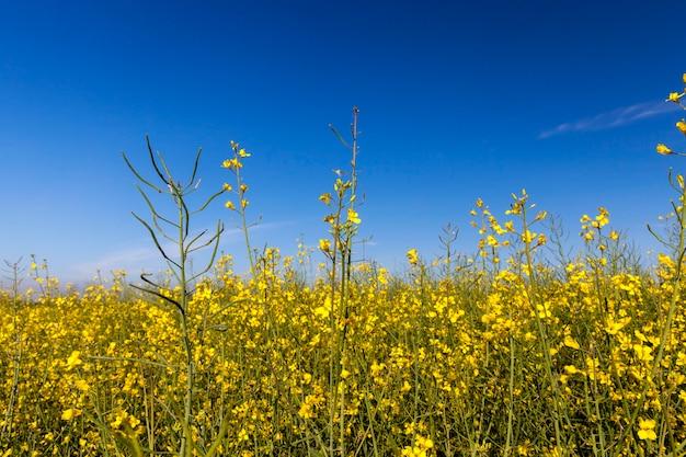 Gele koolzaadbloem, geplot tegen een achtergrond van blauwe lucht