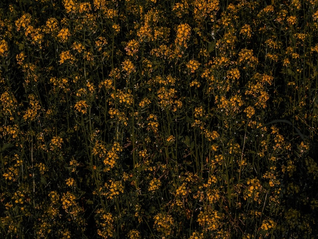 Gele koolzaadbloemen met donkergroene achtergrond. bio koolzaad. kleurrijke close-up
