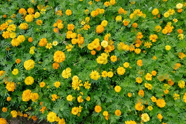 Gele kosmos bloemen boerderij in de buitenlucht