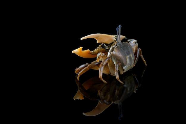 Gele krab op zwart