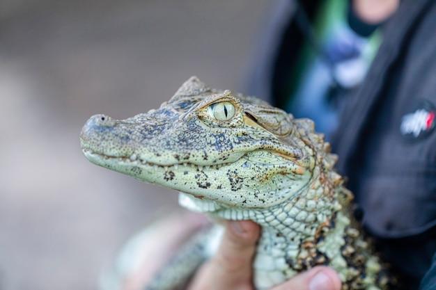 Gele krop alligator