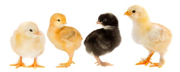 Gele kuikens en één kuiken zwart