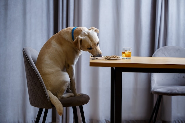 Gele labrador retriever hond poseren zittend aan een tafel met goodies. hondenvoer in een wit bord