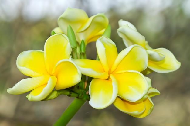 Gele leelawadee in de tuin